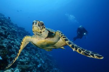 Carpe-Diem-diver-with-turtle.jpg